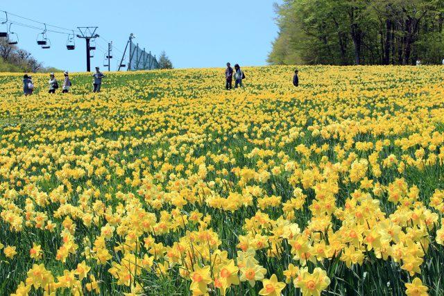 Daffodils and Shiroyashio Azalea