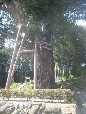 Hirasawa Mida's Cedar
