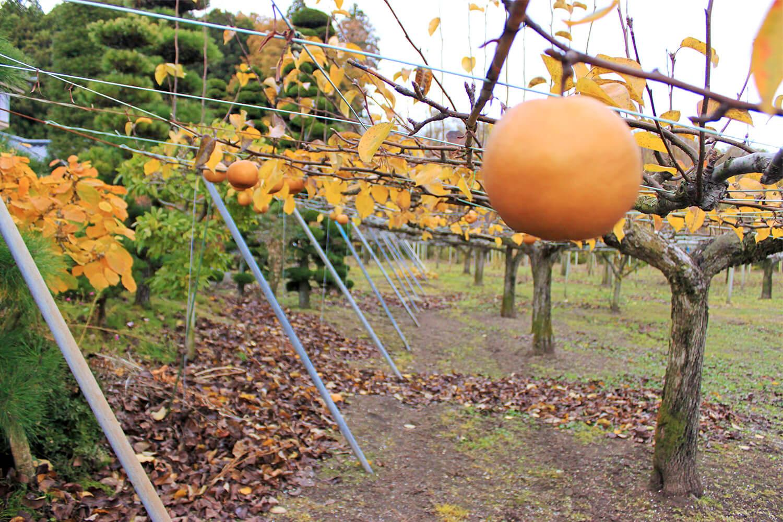 室野井果実園で梨・りんご・桃狩り体験