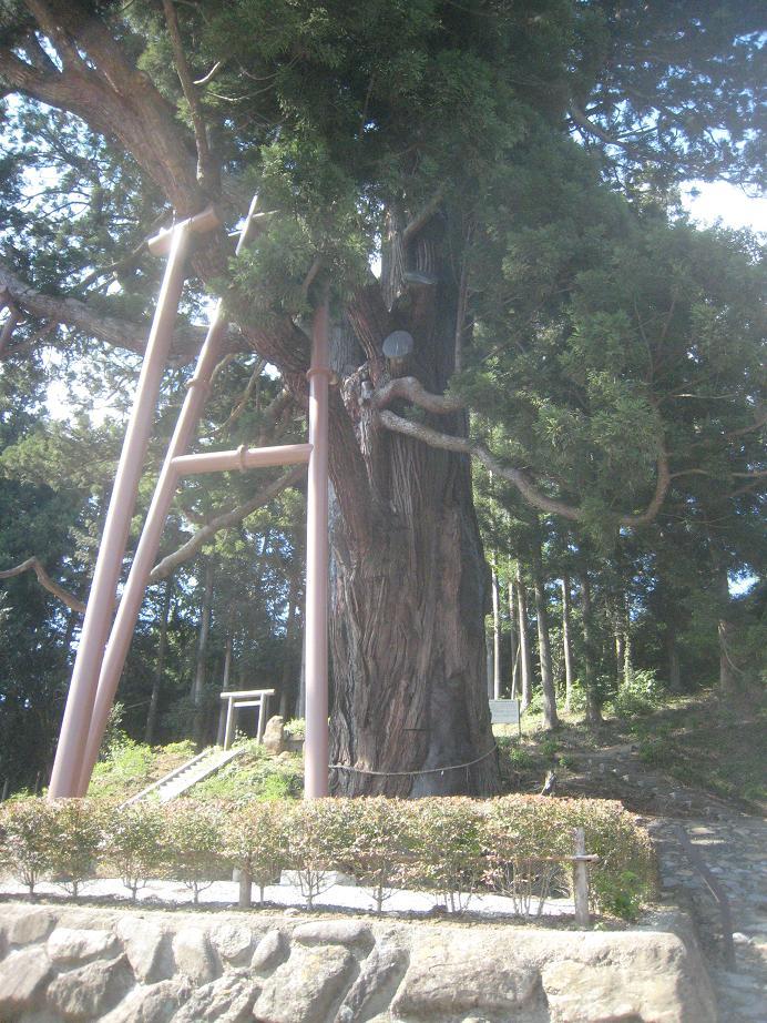 平泽弥陀之杉